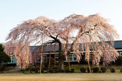朝日を浴びる枝垂桜| 杵原学校は吉永小百合さん主演の映画「母べえ」の撮影地として知られている。