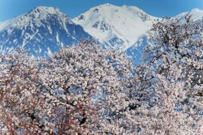中央アルプスの巨大さ| 桜の上に聳えています。