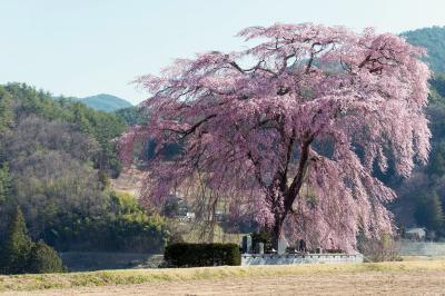 存在感のある巨木| お墓を守っているような桜