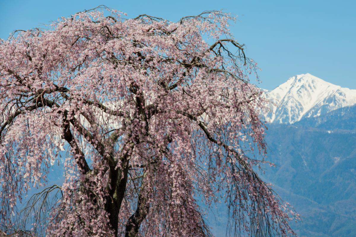 残雪と古木 時の流れを感じる桜です。