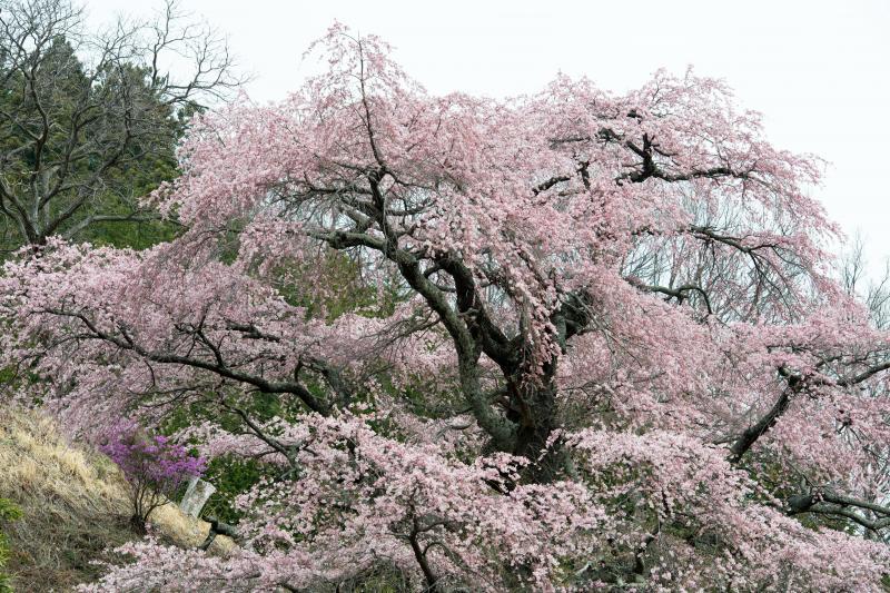 [ 西丸尾の桜 ]