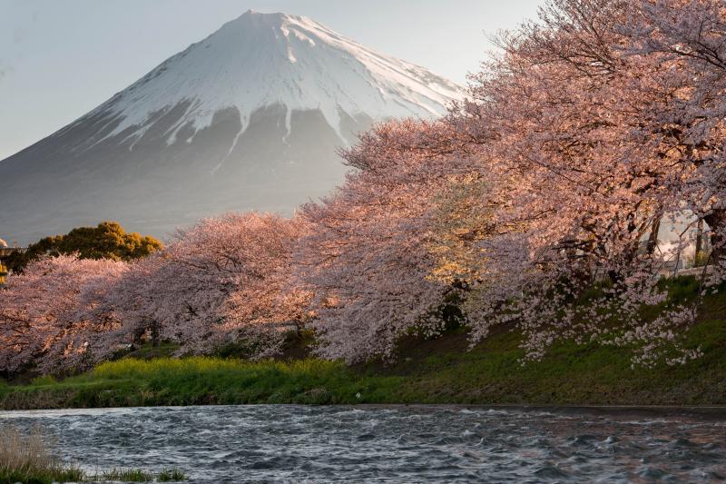 [ 朝日に染まる桜たち ]  雄大な富士山をバックに、桜が朝日で赤く染まります。