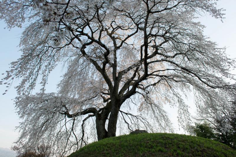 [ 古墳の上から街を見下ろし ]  半円形の古墳の上でこの地を見守っている桜。