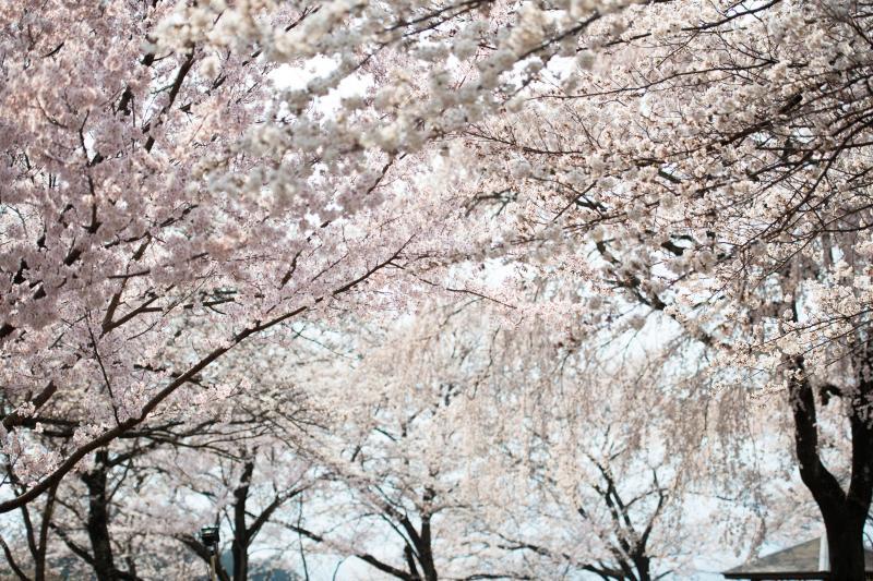 [ 溢れるように咲き競う ]  公園内は桜だらけ