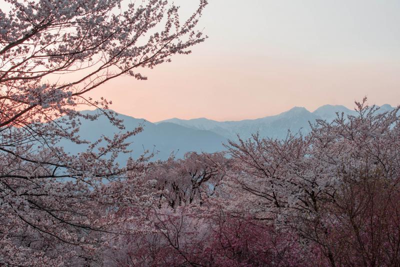 [ 夕暮れの桜と中央アルプス ]  美しい色彩