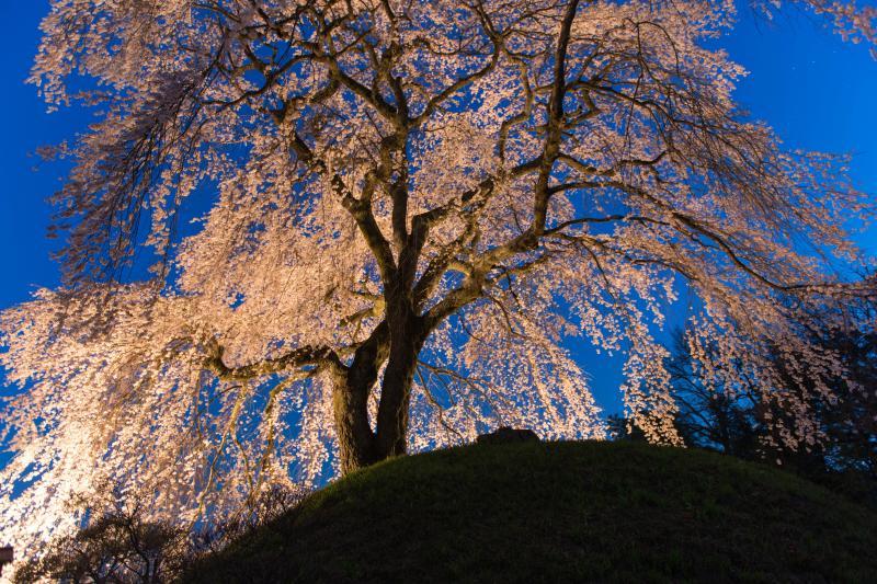 [ 濃紺の空と石塚桜 ]  古墳の上で静かに花を咲かせています。