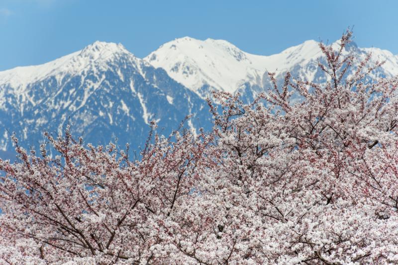 [ 春の到来 ]  華やかな春がやって来ました。残雪の山々が美しい。