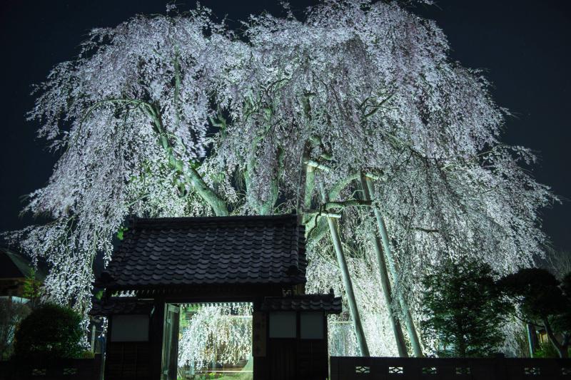 [ 闇に浮かぶ桜 ]  ライトアップで幻想的に。風が穏やかな夜でした。
