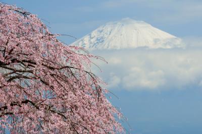 [ 興徳寺の桜と残雪の富士山 ]  山頂の雲が取れて富士の姿が見えました。