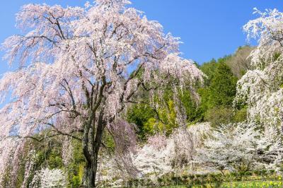 桜たちの乱舞| 桜の競演が楽しめる場所です。