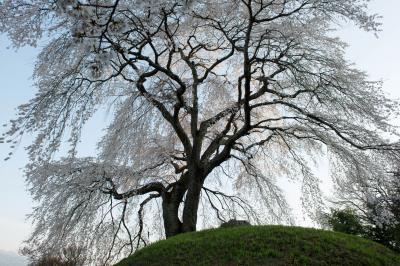 古墳の上から街を見下ろし| 半円形の古墳の上でこの地を見守っている桜。