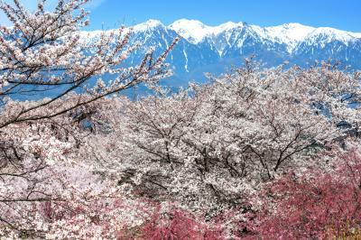 春の絶景| 桜の森と残雪の中央アルプス。言葉にならない美しさ。