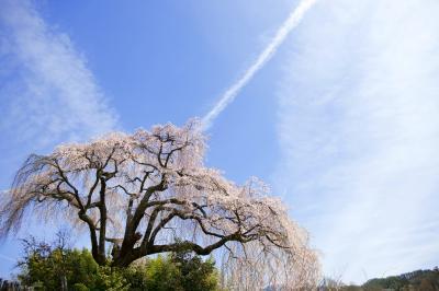 竹林から飛び出したサクラ| 大空に手を広げているようです。