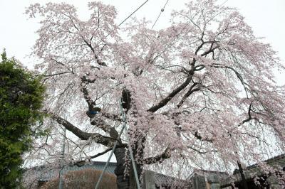 慈福院のしだれ桜| 道路沿いにあります。