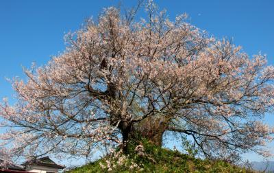青空に映える最後塚のエドヒガン| 高台の上に桜はあります。