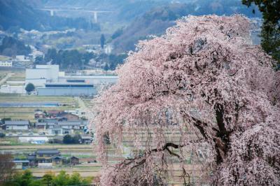吉瀬のしだれ桜|