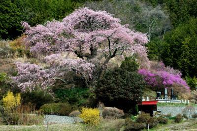 春の山村風景| 個人宅の庭に咲くピンク色の濃い古桜。中川村は桜の宝庫。