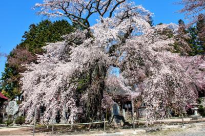 瑠璃寺の桜全景| 樹齢400年で味わいのある古桜です。