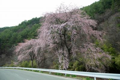 南海薬師寺の枝垂れ桜| 周囲の道路沿いにシダレザクラが咲いています。