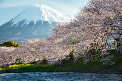 [ 龍巌淵の桜と富士山 ]  富士山が綺麗に見える日でした。桜と富士山の名所です。