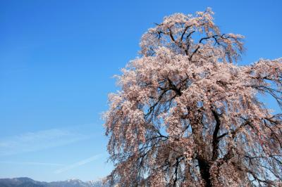 林叟院のしだれ桜と残雪野山| 空に飛び出すように背が高い桜