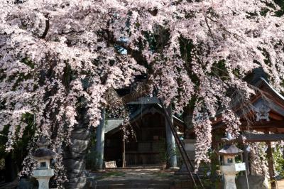 御射山神社のしだれ桜| 空から降ってくるようです。