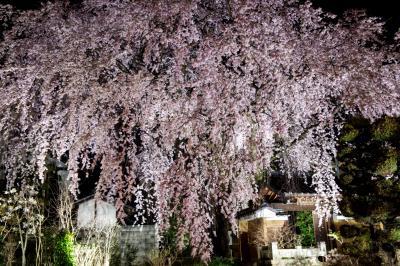 黄梅院の紅しだれ桜| 境内を覆いつくすような大きさです。