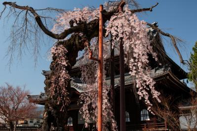 正永寺のシダレザクラ| 本堂の前で花を咲かせています。