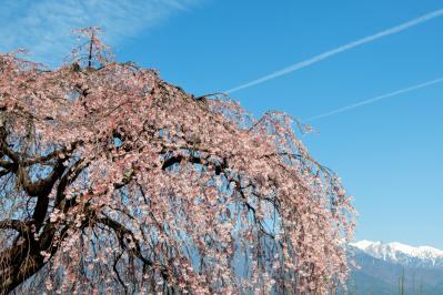 泉龍院の枝垂れ桜と中央アルプス| 飛行機雲が何本も見えました。
