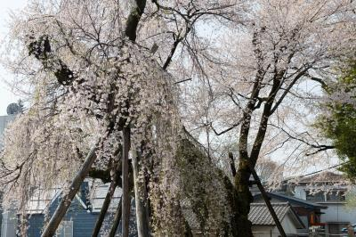 2本の桜| どっちが枝垂桜?エドヒガン桜?