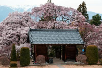 蔵澤寺の山門を見下ろして| 山門を囲むように桜が植えられています。
