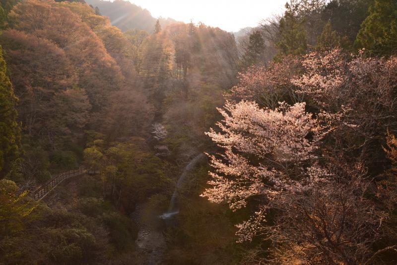 [ 柱戸不動滝 ]  群馬県みどり市の柱戸不動滝と山桜。逆光の朝日を浴びて。4月15日前後が見頃。