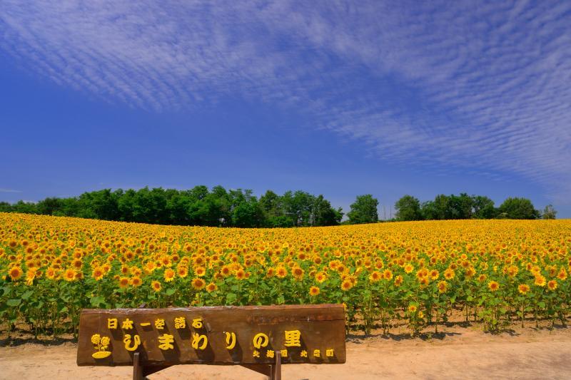 [ ひまわりの里 ]  ひまわりの黄色が青空に映えます。