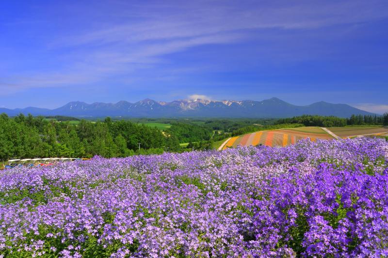 [ 四季彩の丘風鈴草 ]  薄紫のカンパニュラの向こう側に十勝連峰が望めます。