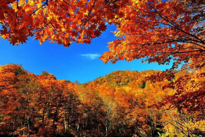 [ 秋の青空を彩るカエデ ]  まだ湖畔沿いのブナが色づいていなかったため、雨飾山の紅葉を見に行くことにします。雨飾山へはキャンプ場付近の登山口から登ります。雨飾山の紅葉は鎌池より約1週間早く訪れます。
