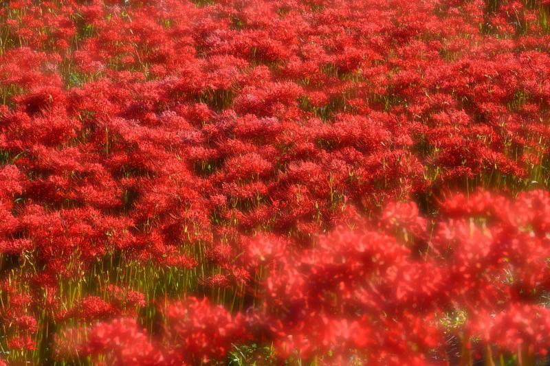 [ 鮮烈の赤 ]  あまりにも鮮やかすぎる赤が印象的でした。