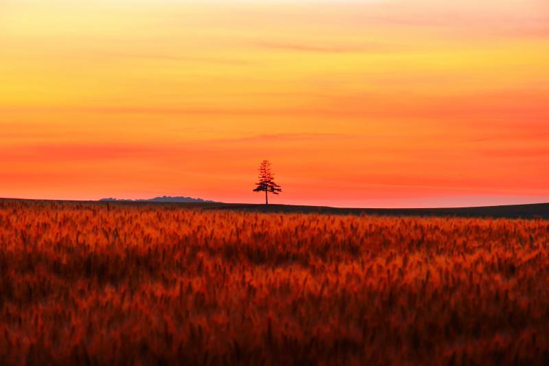 [ 一本の木 ]  夕焼け空のもと麦畑の向こうにたたずむ孤高の木が印象的でした。