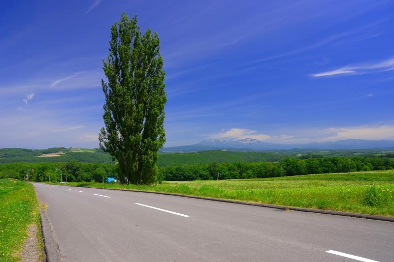 [ ケンとメリーの木 ]  右手奥に旭岳を望む事が出来ます。