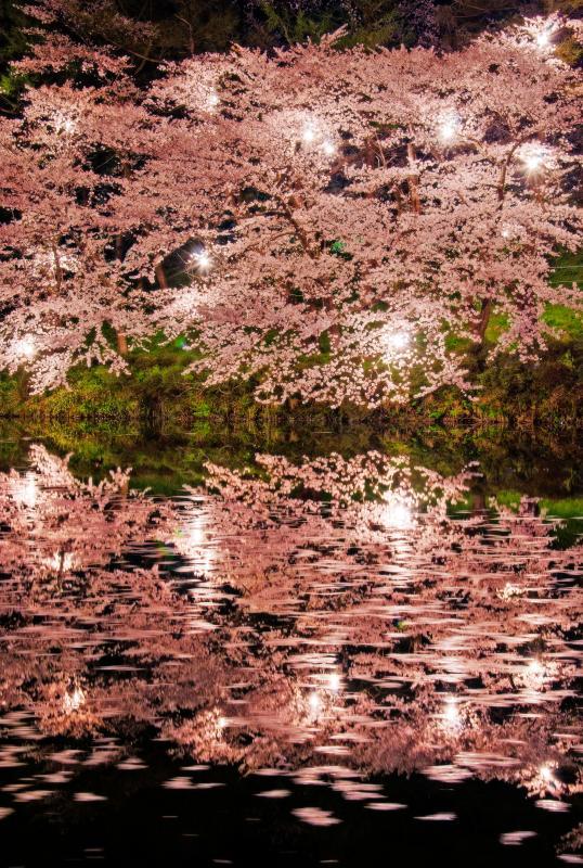[ 夜桜リフレクション ]  水面に浮かぶ桜の花びら。桜のみのライトアップでも美しく感じました。