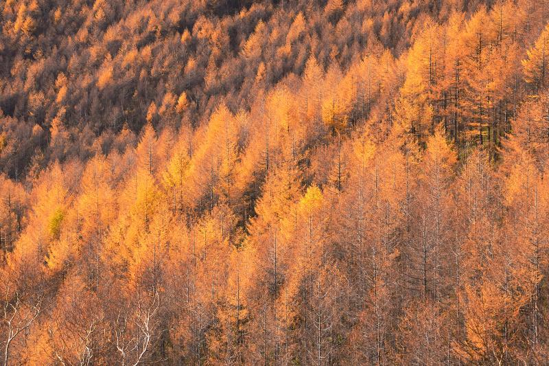 [ 高峰高原 ]  チェリーパークライン沿いのカラマツの紅葉。夕刻の光に照らされて黄金色に輝いていました。