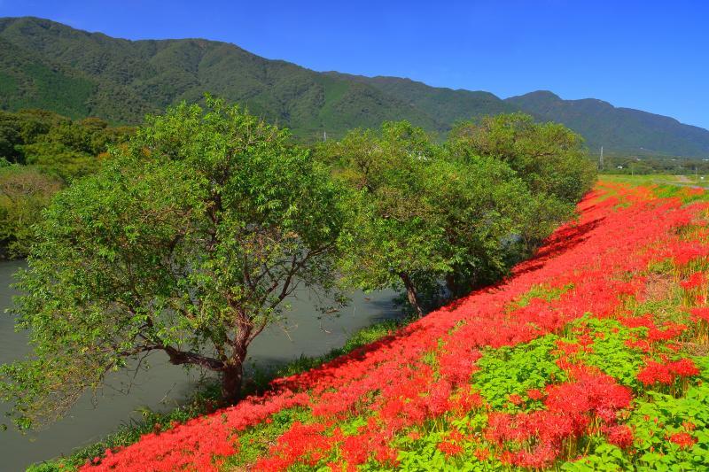 [ 赤の絨毯 ]  堰堤沿いには曼珠沙華の絨毯が広がっていました。
