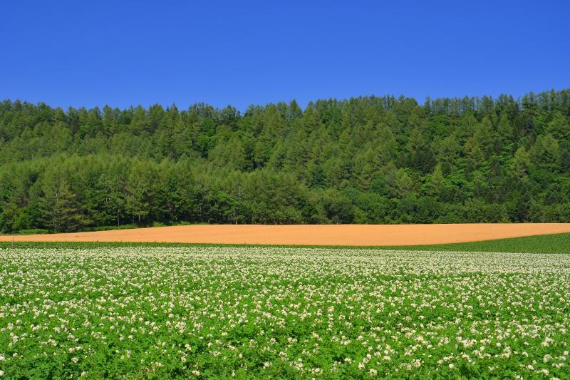 [ 緑町の丘 ]  ジャガイモ畑と麦畑が美しい情景を醸し出していました。