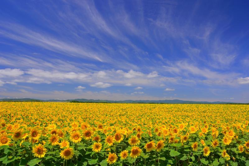 [ 女満別空港ひまわり畑 ]  満開のひまわり畑の上には美しい夏空が広がっていました。
