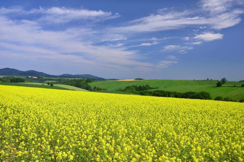 [ 黄辛子の花 ]  本州では春先にしか見られない菜の花も、ここ美瑛では夏でも見ることができます。黄辛子は作物を収穫した後に肥料として植えられるので畑によって時期はまちまちですが秋口に多く見られるようです。