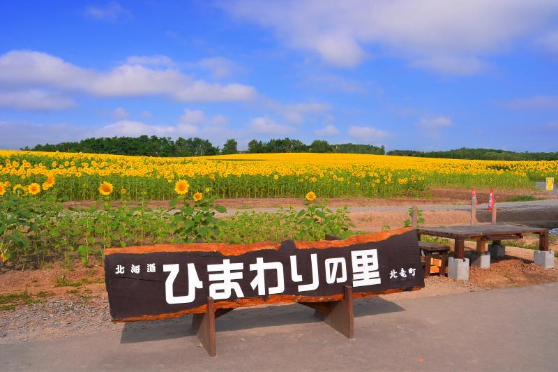 [ ひまわりの里 ]  広大なひまわり畑が広がっています。