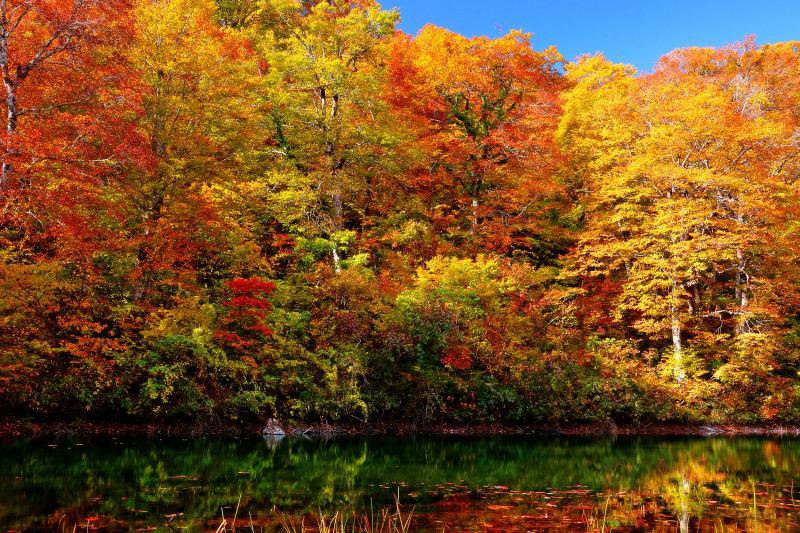 [ 静寂に包まれる鉈池 ]  鉈池にも寄ってみました。非常に小さな池ですが迫ってくるブナ林の紅葉は鎌池にも劣らない美しさ。湖畔沿いを歩くことが出来ないので入口付近からしか撮影できませんが、錦秋に包まれた神秘的な空間でした。