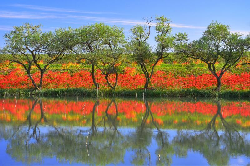 [ 水面に映える赤 ]  水鏡に映った彼岸花が印象的。