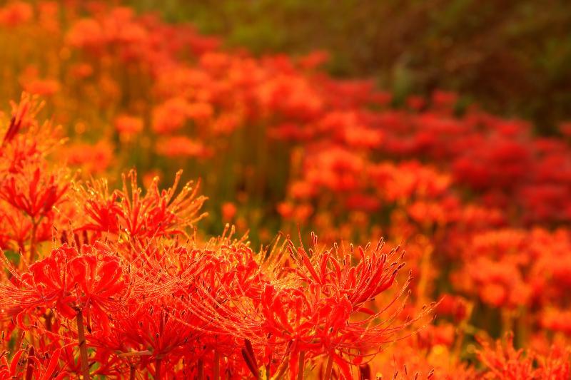 [ 矢勝川の曼珠沙華 ]  朝露に濡れて輝く朱色が印象的。