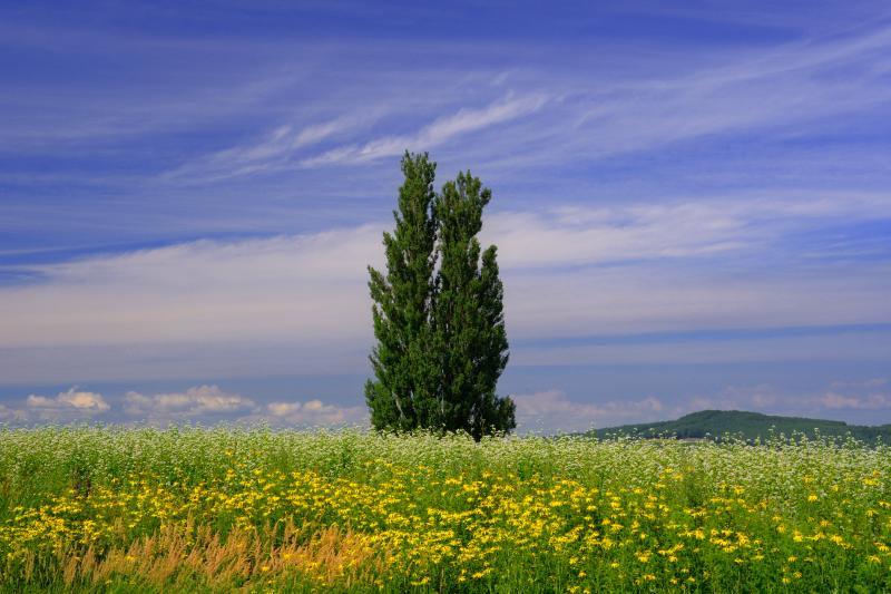 [ ケンとメリーの木 ]  蕎麦の花に合わせるかのようにオオハンゴンソウが黄色の花を咲かせていました。