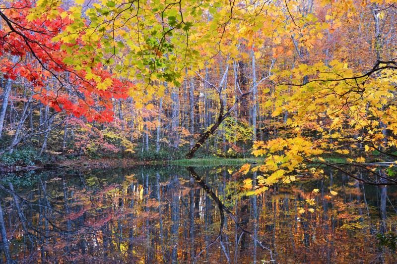 月沼| 遊歩道を反時計回りに散策すると蔦沼、鏡沼の次に出てくる小さな沼。ブナに交じってカエデの赤や黄色がアクセントを与えていた。